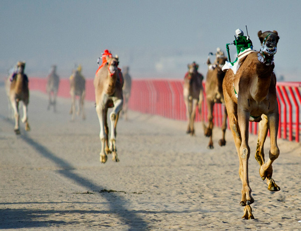 In Dubai, They Have Camel Racing With Robots For Jockeys