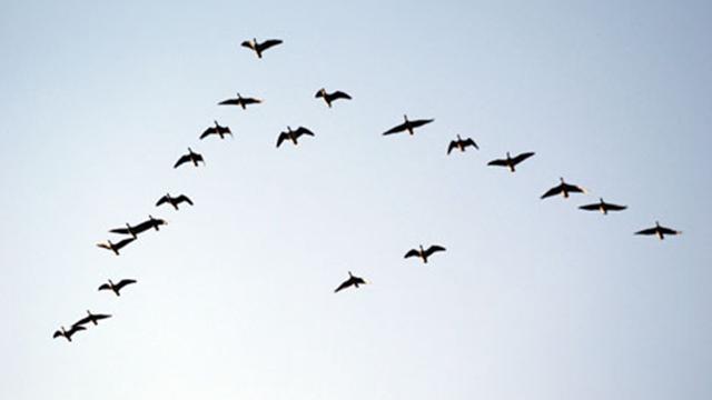 ducks-flying-v-formation-migrating-photo1