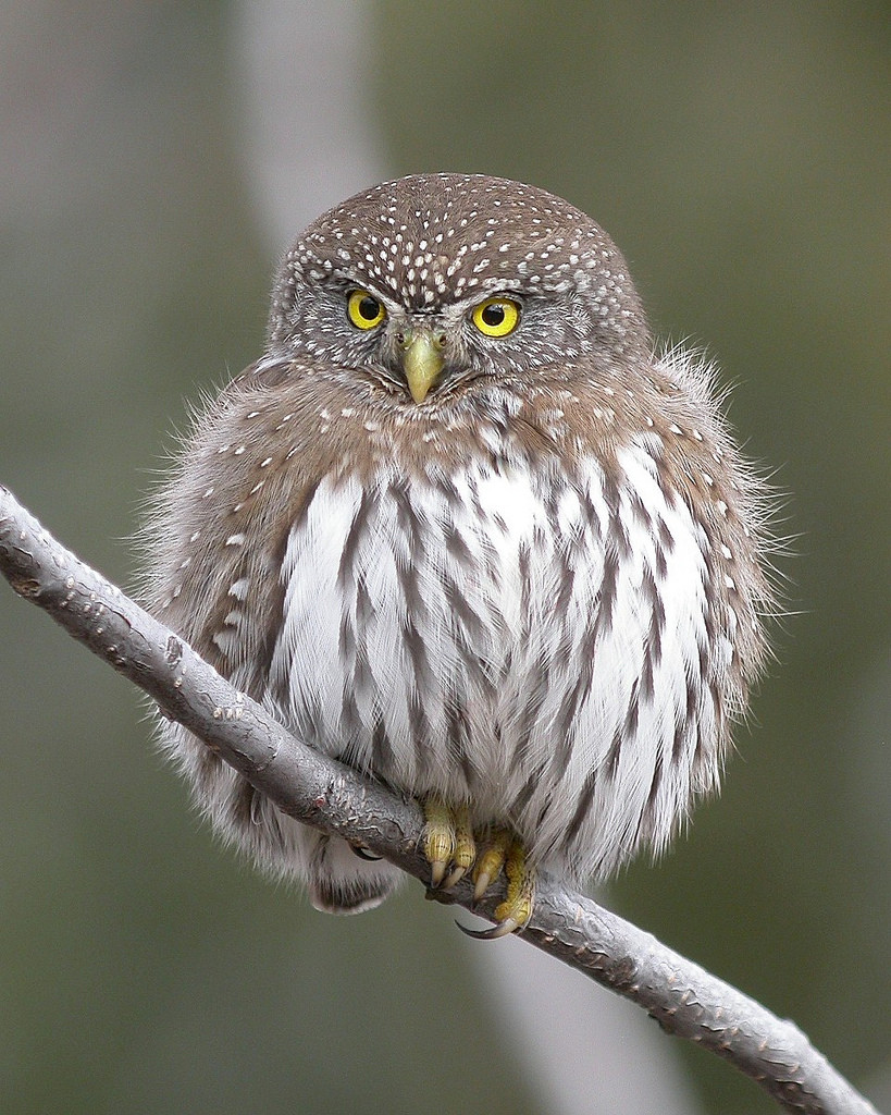 ranking the 8 most adorable species of owl theslicedpan com